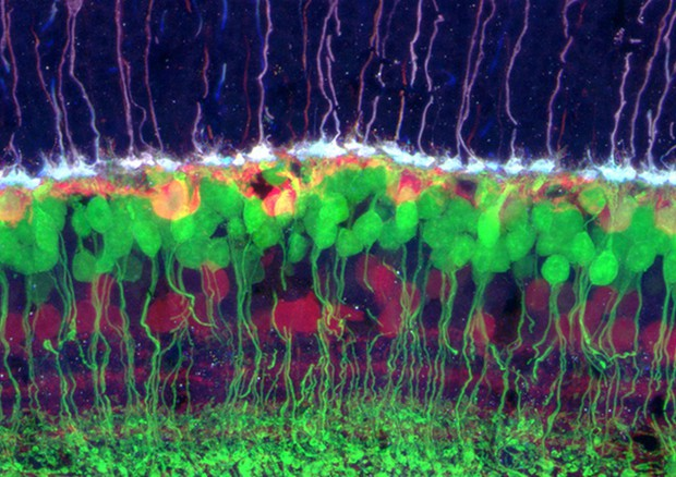 Cellule della retina (fonte: Rachel Wong, University of Washington) © Ansa